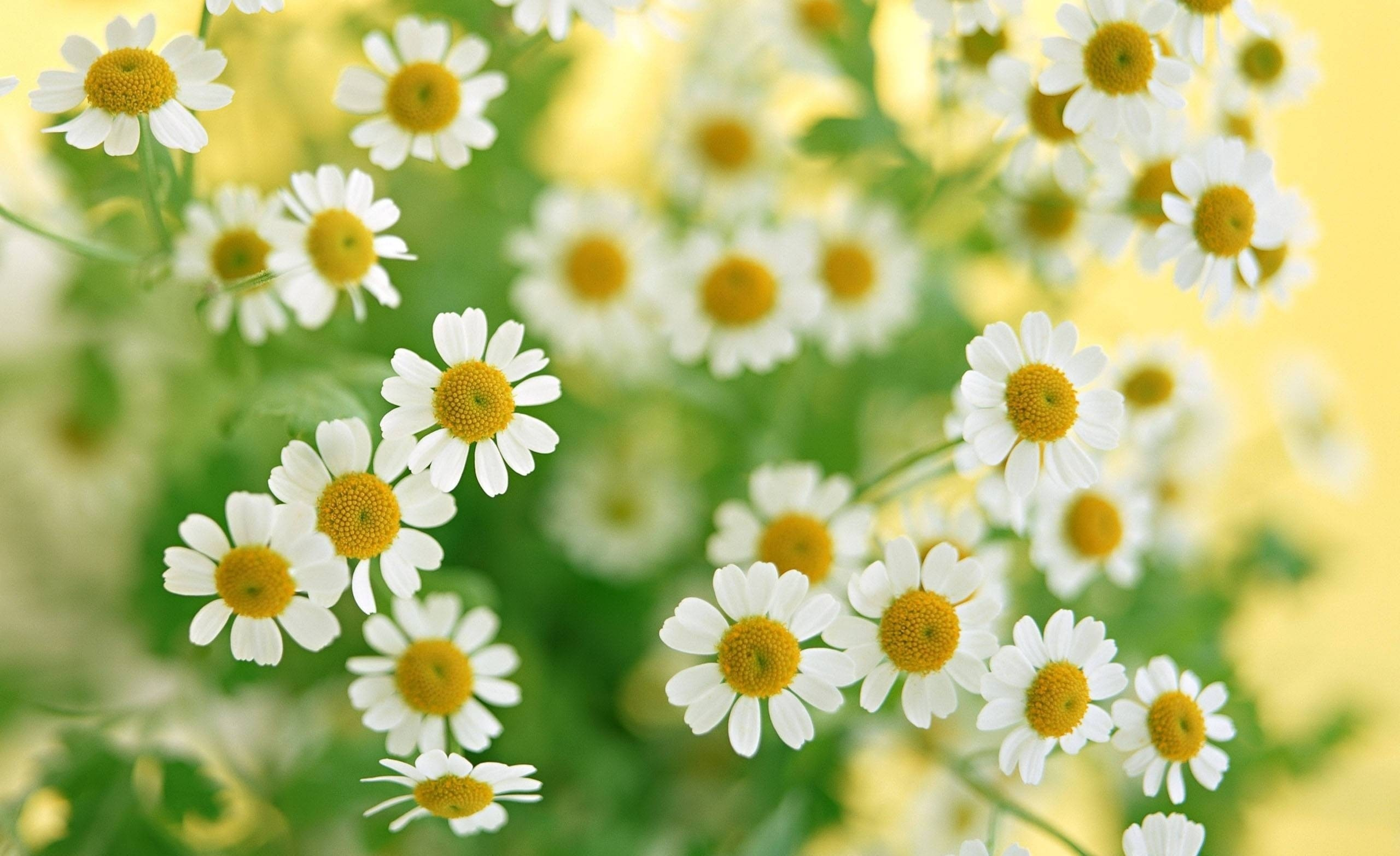 Chamomile-Flowers-Summer1
